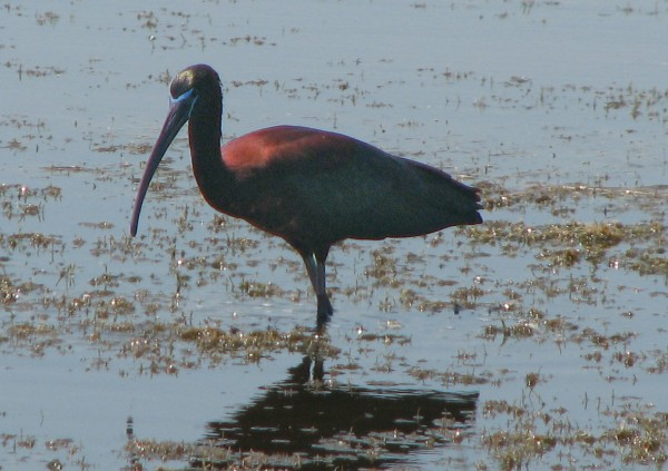 The glossy ibis doesn''t get into the Bangor area much, but it''s all over Scarborough Marsh near Portland in the summer.