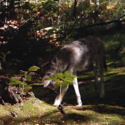 Protection of wolves in Maine debated