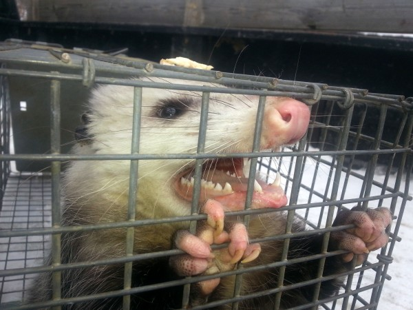 An opossum bares its teeth after being trapped in a Farmington garage over the weekend. It was later set free in the woods.