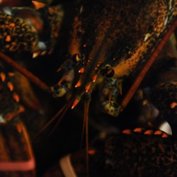 New lobster marketing board joins forces with Culinary Institute of America