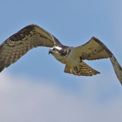 New project to track ospreys in NH
