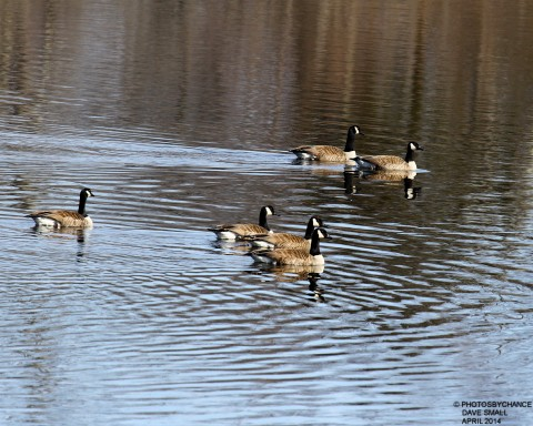 CANADA GEESE_0071-1