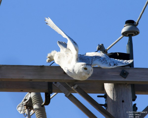 A snowy owl takes wing.