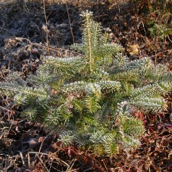 Frost tinges a young balsam fir growing in Franklin. Balsam fir, like trees native to Maine, are excellent candidates for planting in a yard as part of a natural landscape; already adapted to the state's frigid winters and tough growing conditions, native trees can thrive where imported species struggle to survive.