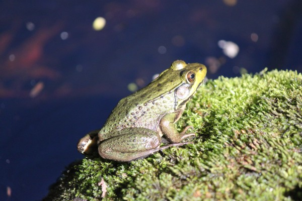 A green frog sits on a rock by a pool at the Maine Wildlife Park in early September 2013 in Gray.
