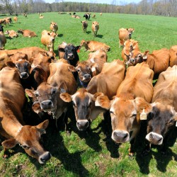 Jersey dairy cows are shown at Clovercrest Farm in Charleston.  The farm produces certified organic milk and was selling to MOO Milk before the company went out of business.