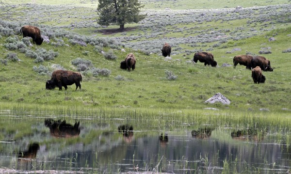 A herd of bison graze in Lamar Valley in Yellowstone National Park, Wyoming, in this June 2011 file photo.