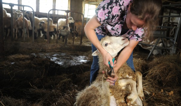 Edie Kershner, a sheep shearer from Stockton Springs, helps Rose Rapp, the owner of Farmetta Farm in Morrill, on Tuesday.