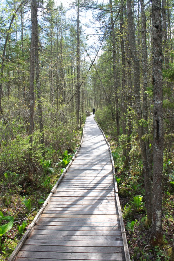 A visitor walks on the Orono Bog Boardwalk, surrounded by skunk cabbage and ferns at the edge of Orono Bog last year.