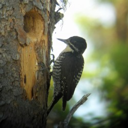 An American Three-toed Woodpecker
