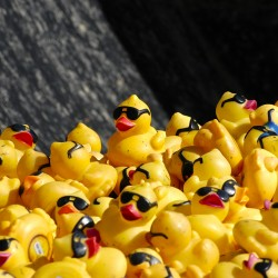 Five thousand rubber ducks wait in the back of George Pelletier's potato truck for the start of the International Duck Derby in Fort Kent on Sunday.
