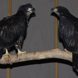 Two eaglets at Avian Haven, a bird rehabilitation facility in Freedom, could be released in a matter of weeks.