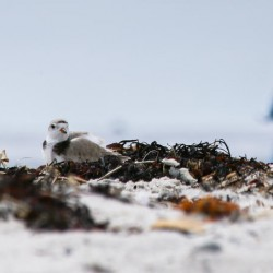 A piping plover nestles into some dried rockweed Sunday, May 25, at Crescent Beach State Park in Cape Elizabeth while 4-year-old Johannes Wendlen of Boston, Massachusetts, strolls past.