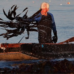 Larch Hanson of Maine Seaweed, LLC., harvesting kelp by hand in Gouldsboro Bay.