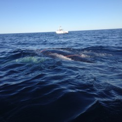 Rescuers work to free a humpback whale entangled in fishing gear off the coast of Mount Desert Island on Saturday.