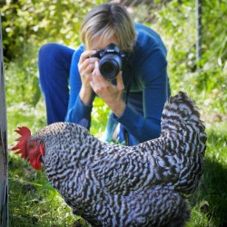 "Peg Keyser takes a picture of one of her hens on Sept. 10 in her South Portland backyard. Keyser uses pictures of her ""girls"" in an annual calendar called Hard-Boiled Hens."