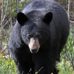 A black bear walks through brush in Hancock in this June 2014 file photo.
