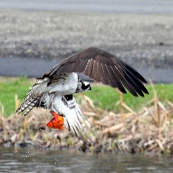 Wildlife photographer Bill Brown, who lives in Arizona, saw this osprey swoop down to catch a large goldfish at The Muck in Belfast in this April 2014 file photo.