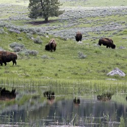 A herd of bison graze in Lamar Valley in Yellowstone National Park, Wyoming in this file photo taken June 20, 2011. Wildlife conservationists petitioned the Obama administration on Monday to halt the practice of killing bison from Yellowstone National Park, sometimes by the hundreds, to prevent the spread of disease to cattle that graze on neighboring land in Montana.