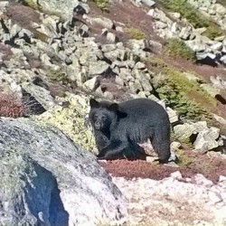 A black bear roams the alpine terrain of Katahdin near Pamola Peak on Sept. 27, 2014, in Baxter State Park.