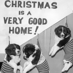 "Three sleepy puppies ""in the sack"" are being cared for in one of Santa's sub-precincts, awaiting Christmas day and a permanent home as a gift from Santa in this December 1956 file photo. They are part of a litter of five at the Bangor Humane Society's shelter on Howard Street. Ernest F. Crowell, humane society agent, said they are a mixture of spaniel, collie and shepherd. Also at the shelter and anxious to find an owner are two cute boxer pups."