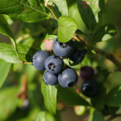 "Youngsters wanted for ""The Blueberry Balladeer"""