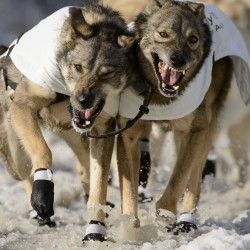 40th Iditarod Trail Sled Dog Race begins in Alaska
