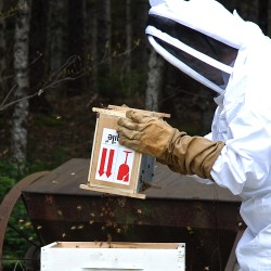 Packaged bees are emptied into a Fort Kent hive at the start of the season.