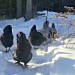 9 tips for keeping chickens in the winter