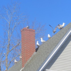 Sea gulls line the roofs of homes in a Camden neighborhood. A group of residents have asked the Select Board to develop a local law to prohibit the excessive feeding of wildlife.