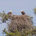 They've hatched! A good look at a Maine bald eagle nest
