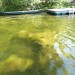 Giant algae blob called 'emergency' for Camden pond