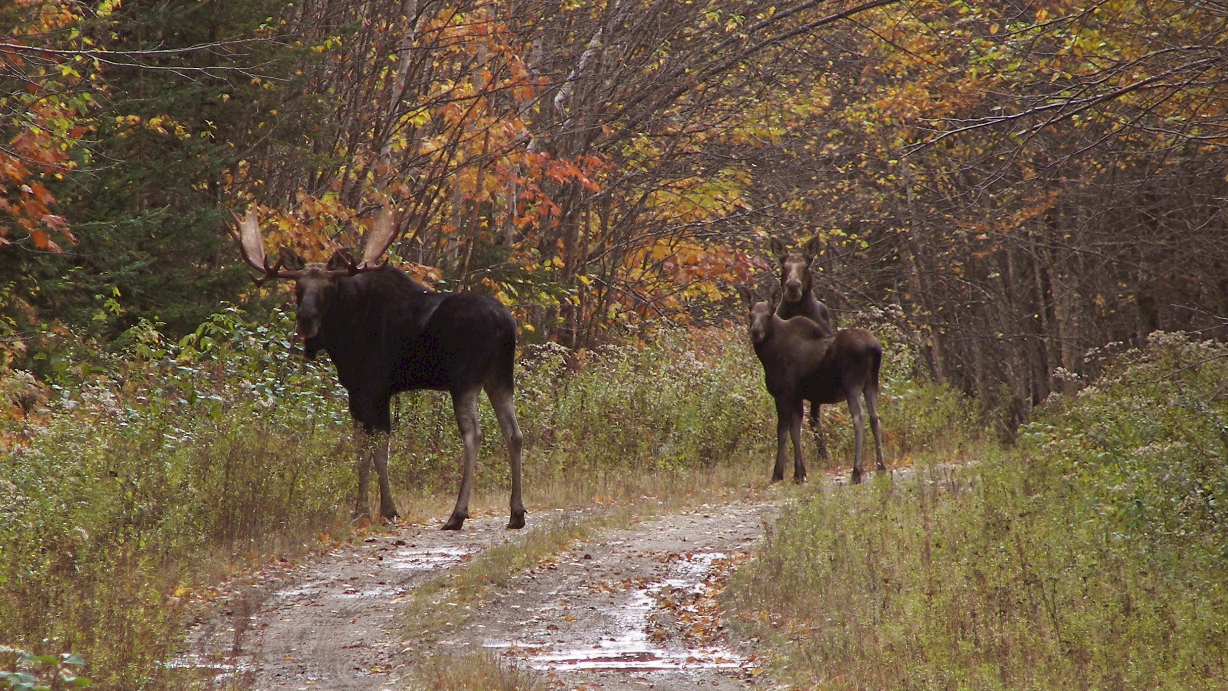 Maine's moose suffered another tough winter