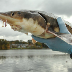 University of Maine graduate assistant Phillip Dionne holds a shortnose sturgeon after catching it in the Penobscot River near Bangor, Oct. 13, 2008.