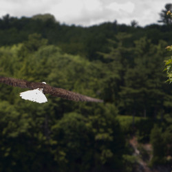 A bald eagle soars high in Orrington in this July 2015 file photo.