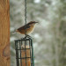 Nuthatches are everywhere this summer